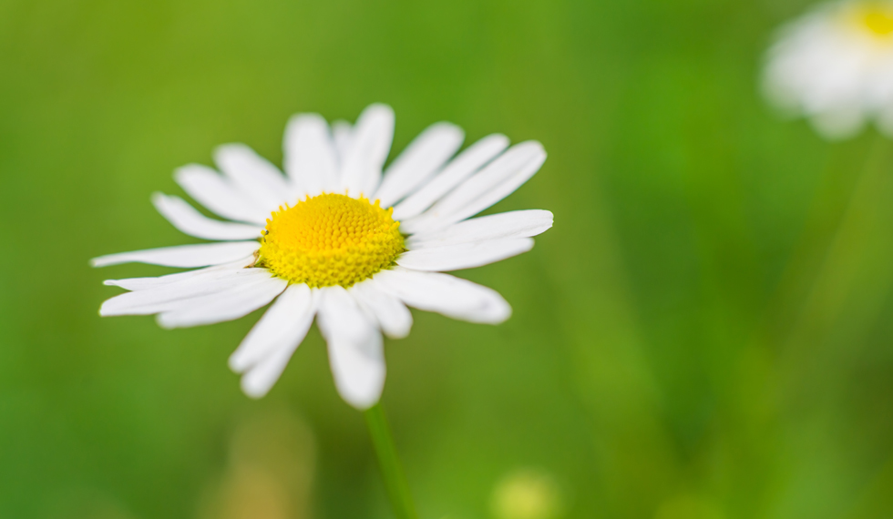 Wild white flowers in close up.